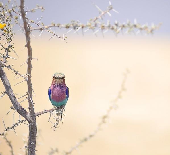 Сиреневогрудая сизоворонка (14 фото)