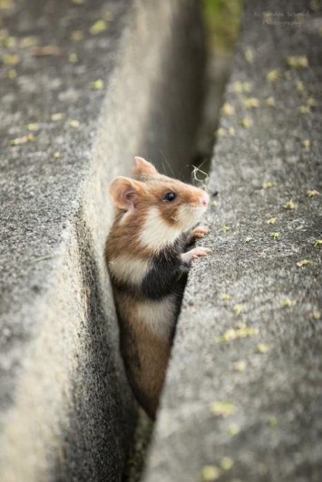 Милые дикие хомячки,которые подарят Вам хорошее настроение (26 фото)