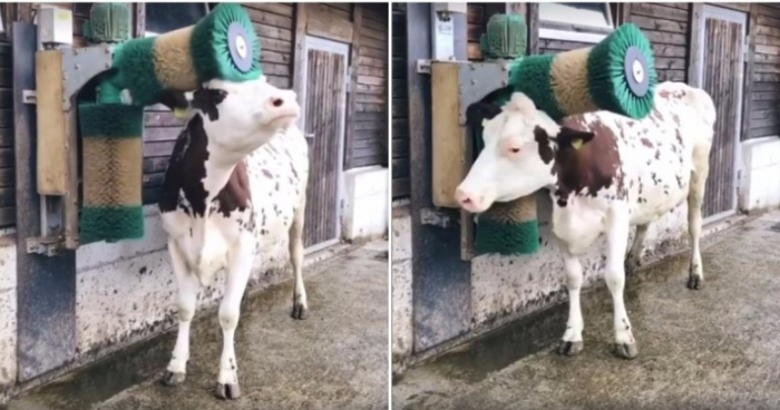 Юмор: Корова в восторге от новой щётки-чесалки