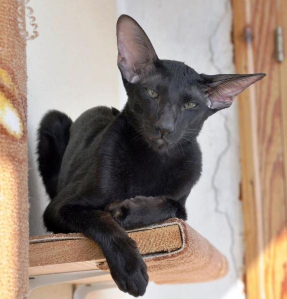 Ориентальная кошка (16 фото)