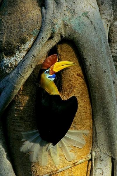 Сулавесский калао (10 фото)