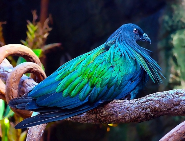 Гривистый голубь (15 фото)