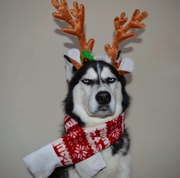 Юмор: Животные,которые не собираются притворяться,что любят этот ваш дурацкий Новый год:) (11 фото)