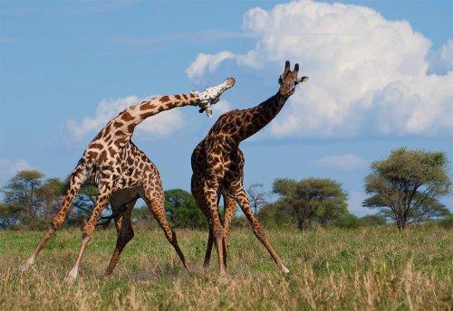 Что это на голове у жирафов? (12 фото + видео)