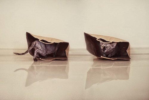 Милые и забавные сфинксы в фотографиях Серены Ходсон (11 фото)