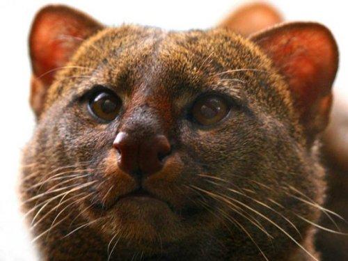 Редкая дикая кошка,прирученная индейцами (7 фото)