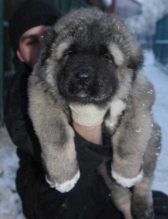 О породе: Собака легенда-кавказская овчарка (19 фото)