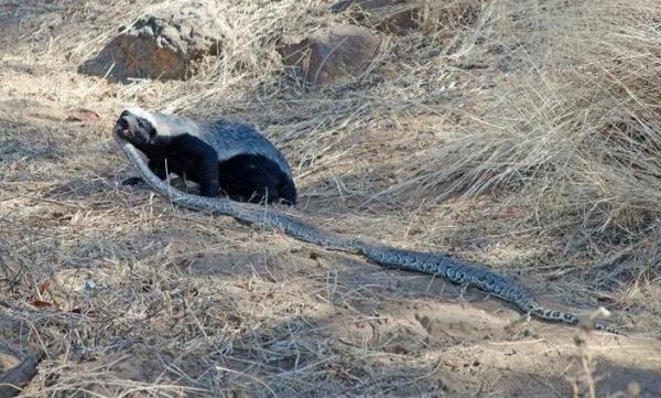 Самое агрессивное и бесстрашное животное в мире (4 фото+видео)