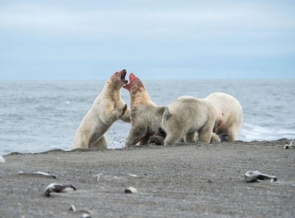 Уникальные кадры из жизни белых медведей