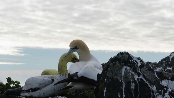 На необитаемом острове умерла самая одинокая птица