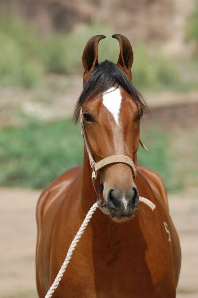 Марварская лошадь (9 фото+видео)