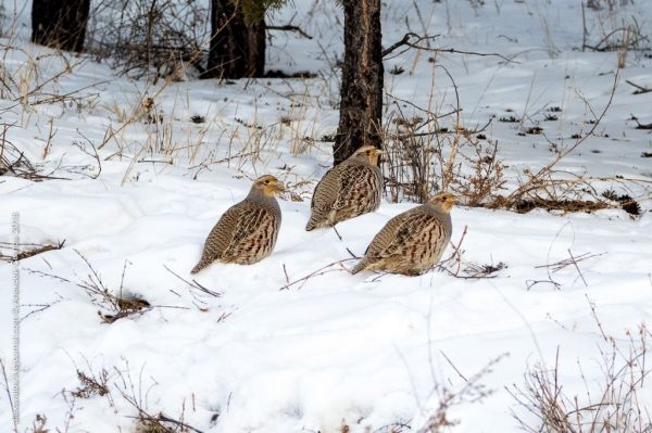 Бородатые куропатки в зимний период (8 фото)