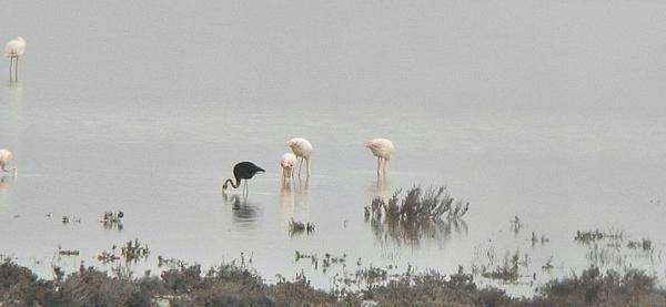 Это интересно: Чёрный фламинго (6 фото)