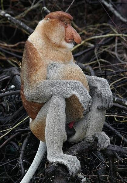 Носач,или кахау,или пробоскис (11 фото)