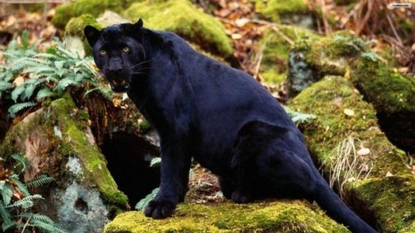 Самое грациозное животное-пантера (10 фото)
