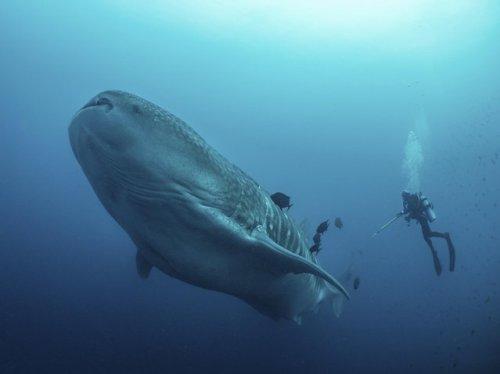 Найдена самая большая рыба в мире (7 фото)