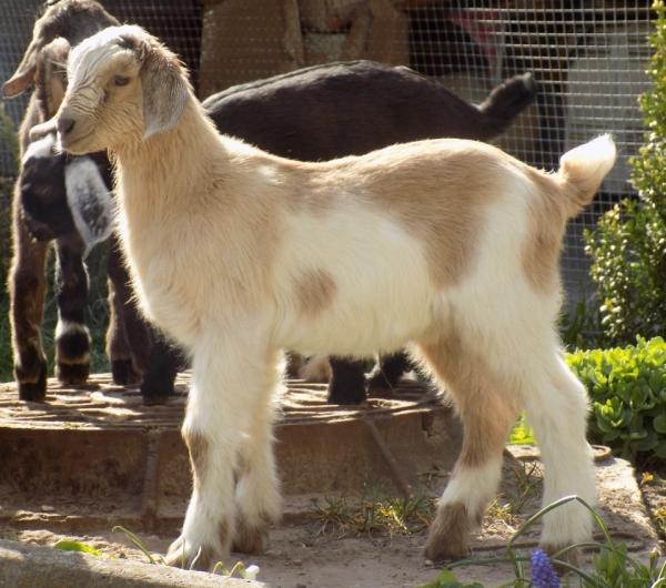 Вислоухие нубийские козлята (15 фото)