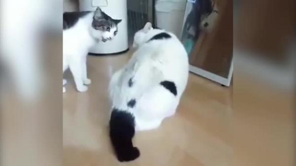 Оригинально остановивший драку толстый кот