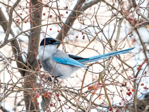 Голубая сорока (10 фото)