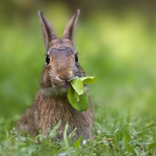 Милые кролики с набитыми едой ртами (15 фото)