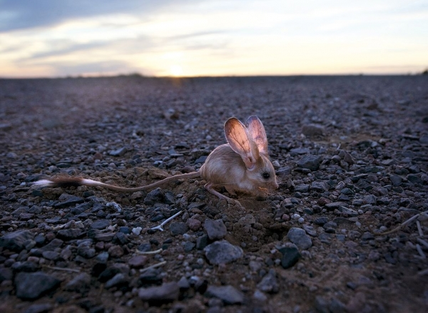 Cамое ушастое существо на Земле (3 фото)