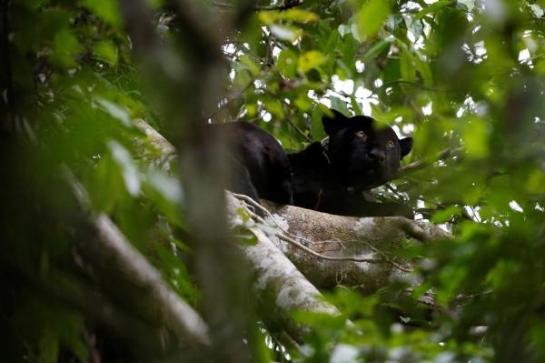 Ягуары, живущие на деревьях (17 фото)