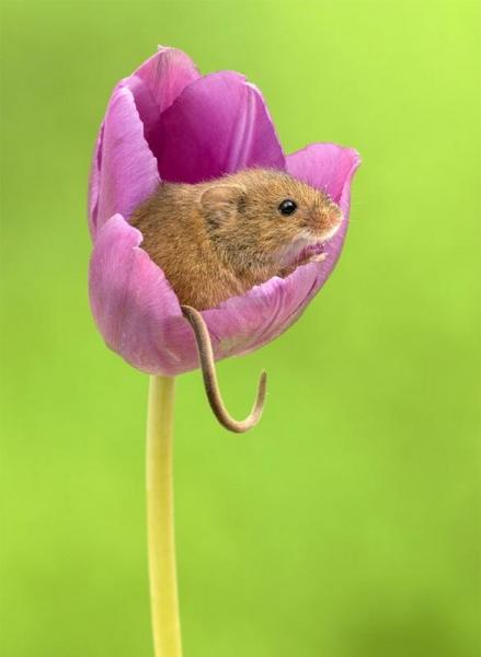 Фотограф снял, как мышки-малютки прячутся в тюльпанах, и мы не можем перестать смотреть на это (20 фото)