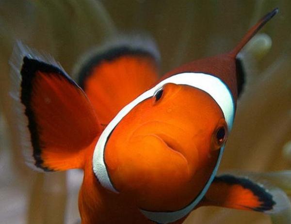 Рыба-клоун (12 фото)