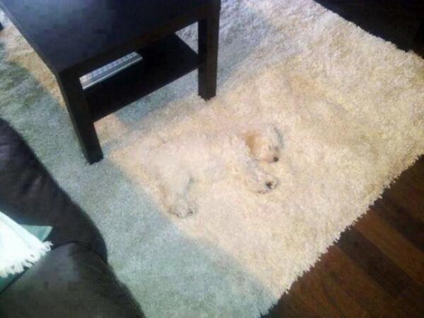 Юмор: Собаки, которые думают, что хорошо спрятались (13 фото)