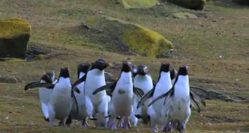 Нарезка забавных фэйлов пингвинов:)