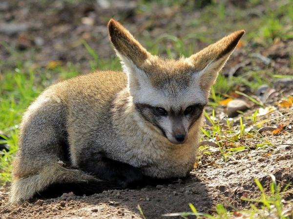 Большеухая лисица (20 фото+видео)