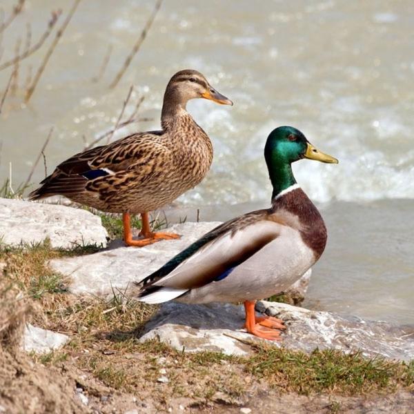 Почему перелётные птицы возвращаются весной обратно? (5 фото)
