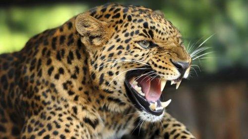 Первый устрашающий рёв детёныша леопарда