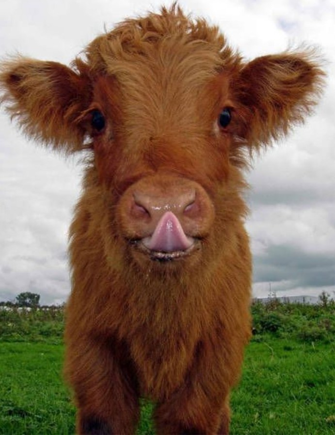 Нов, картинки смешного быка