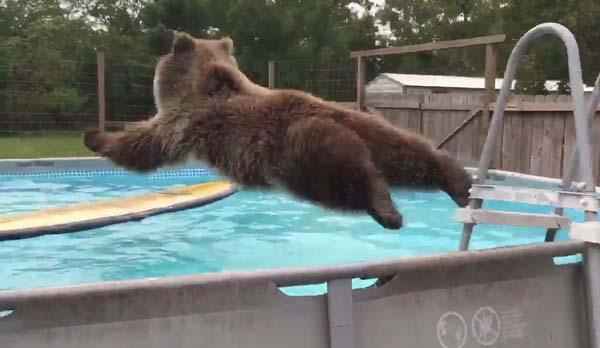 Юмор: Медведь открыл для себя бассейн. Сплошной позитив!