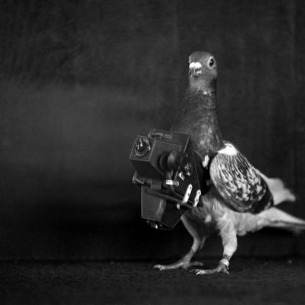 Голуби-фотографы (12 фото)