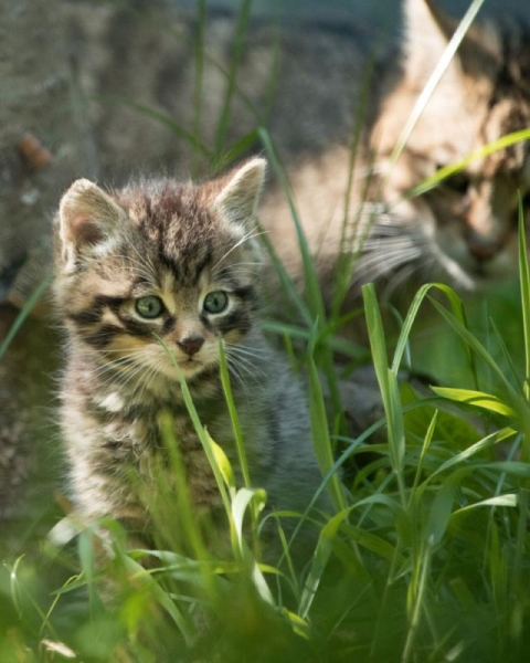 В Эдинбурге родились малыши редкого шотландского дикого кота (8 фото)