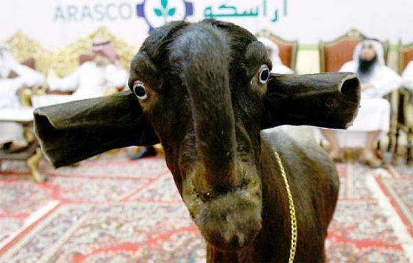 Самая дорогая и красивая коза в мире (15 фото+видео)