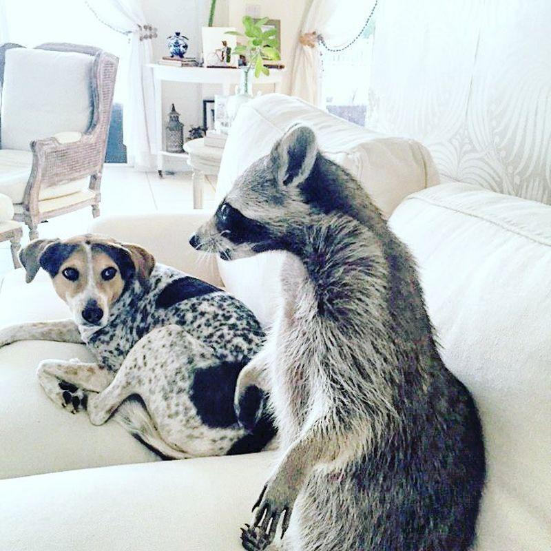 Картинки с енотами и собаками
