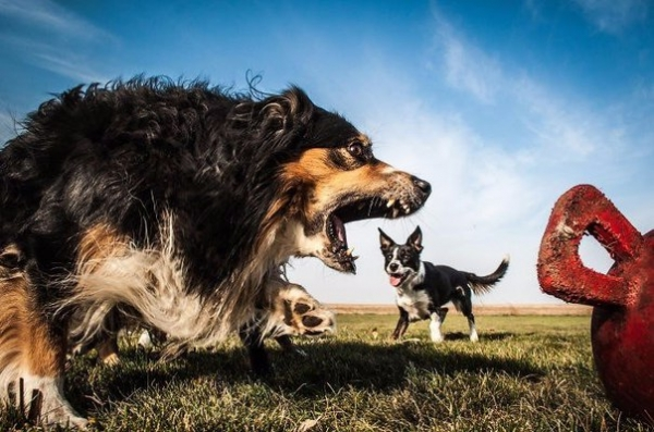 Юмор: Удачные снимки,на которых собаки выглядят гигантами (8 фото)