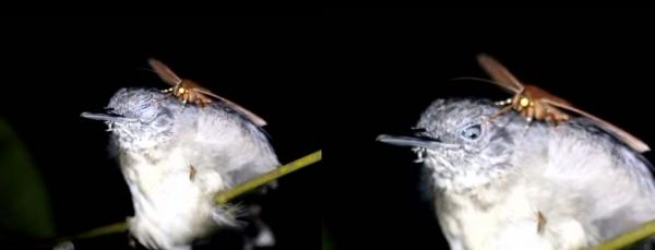 Редкое видео: Необычная трапеза бабочки