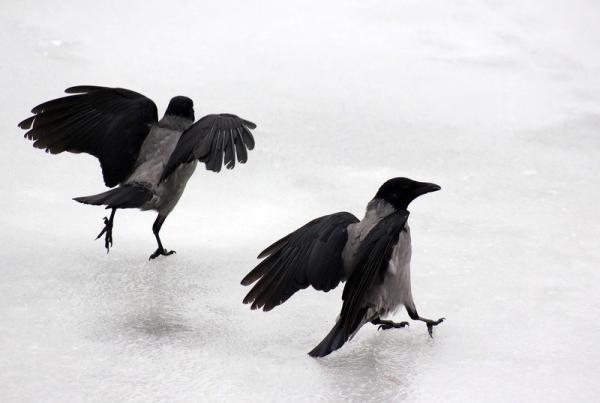 Интересное о серых воронах (24 фото)