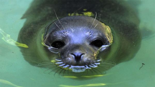 На дайвера напал тюлень,который любит обниматься