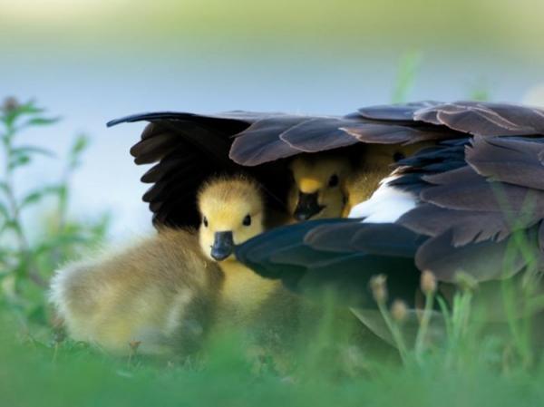 Материнская забота в мире птиц (30 фото)
