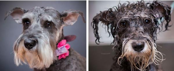 Юмор: Смешные пёсики до и после купания (16 фото)