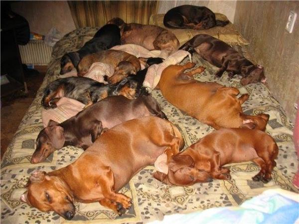 Таксы спят,они устали:) (20 фото)
