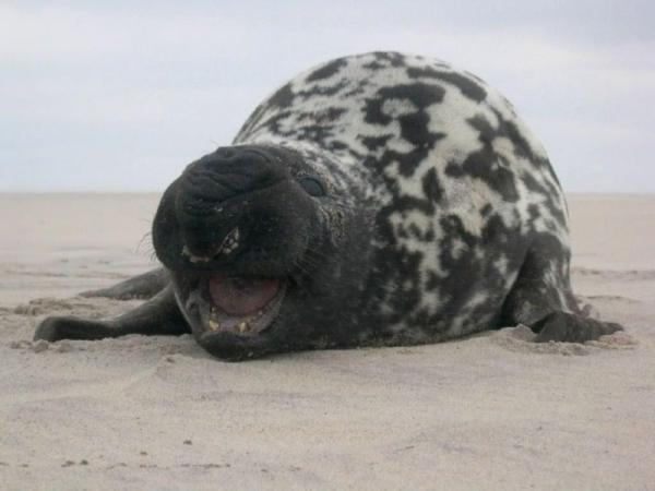 Тюлени-хохлачи (8 фото+видео)