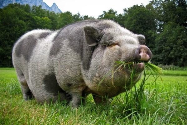 Притча: Мудрая свинья и манеры