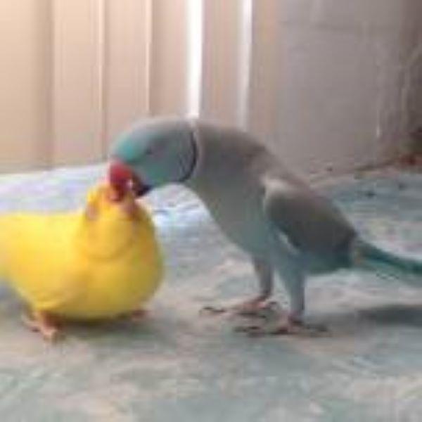 Юмор: Забавный брачный танец попугая