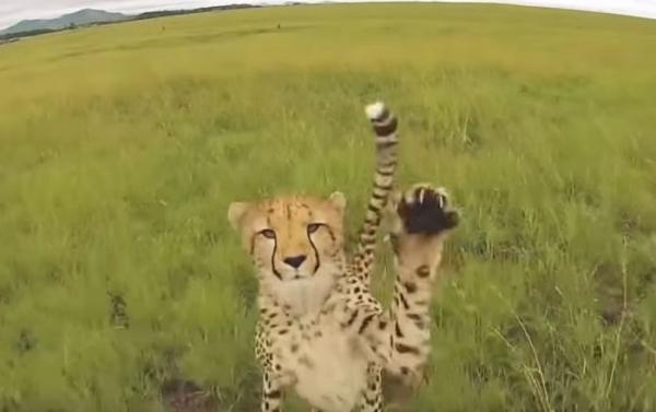 Захватывающее видео: Дроны против тигров